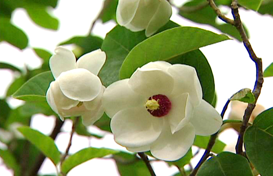 Magnolia - National Flower of the DPRK (North Korea)