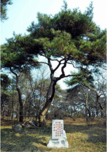 National North Korean Tree - Pine Tree