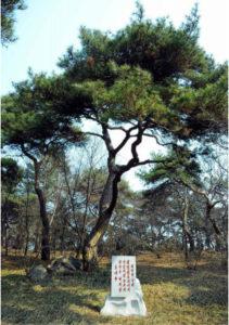 National North Korean Tree - Pine Tree