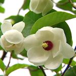National_Flower_of_The_DPRK_Magnolia